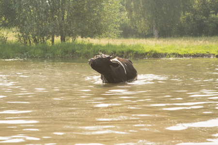 cow bathes in a small river in the hot summer day Stock Photo