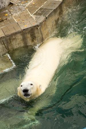 Polar bear in the zoo water aviary
