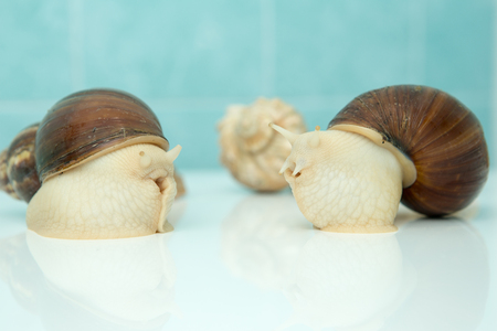 Giant snail Achatina is the largest land mollusk on Earth Stock Photo - 91456454