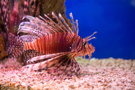 Lionfish-Zebra, or Zebra fish, or striped lionfish lat. Pterois volitans is a fish of the Scorpion family.