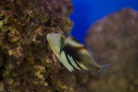 Lagoon triggerfish Rhinecanthus aculeatus , also known as the Picasso triggerfish. 版權商用圖片 - 125410900