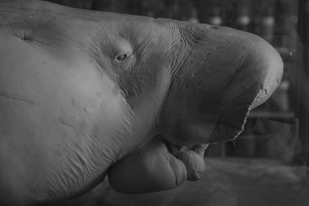 old stuffed manatee close up portrait in the Museum of sea Stock Photo