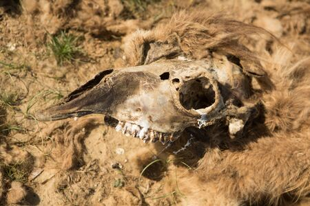 Dead camel in the steppe. Banco de Imagens