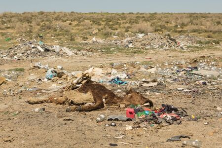 Dead cow in a landfill