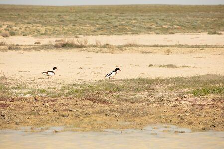 The common shelduck (Tadorna tadorna) is a waterfowl species of the shelduck genus, Tadorna. Reklamní fotografie