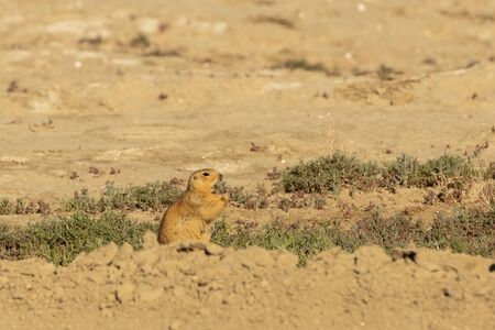 Speckled ground squirrel. Spermophilus suslicus wild animal Imagens