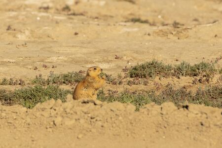 Speckled ground squirrel. Spermophilus suslicus Wild animal