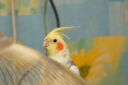 corella parrot with red cheeks and long feathers Banco de Imagens