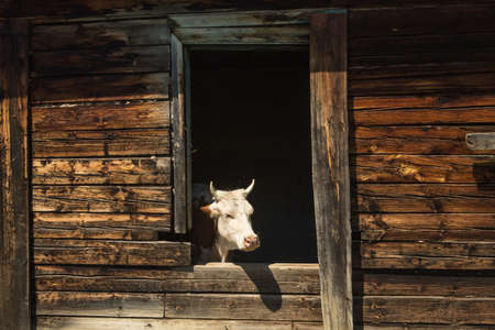 Cows escape the heat in an old abandoned wooden house.