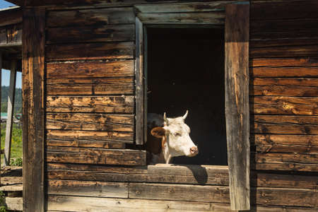 Cows escape the heat in an old abandoned wooden house. 版權商用圖片