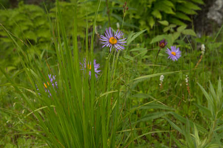 Aster camomile, or Italian is a species of perennial herbaceous plants in the genus Aster of the family Asteraceae, or complex-Colored Asteraceae.