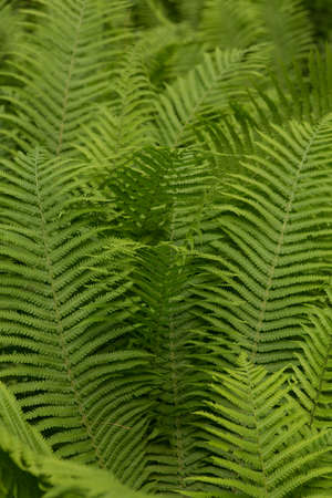 Beautiful ferns leaves green foliage nature. Floral fern background. Ferns leaves green foliage. Tropical leaf. Exotic forest plant. Botany concept. Ferns jungles.
