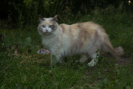 A charming Siberian cat walks on the green grass. Pet.