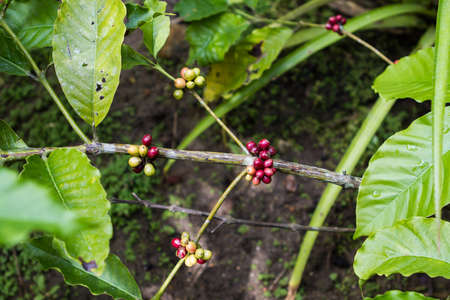 Closeup of coffee fruit in coffee farm and plantations