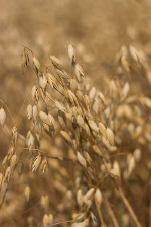 Field of Dry Golden Wheat. Harvest Concept.