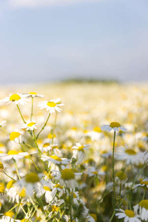 chamomile field on a Sunny summer day.