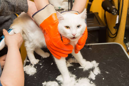 Cat grooming in pet grooming salon. Woman uses the trimmer for trimming fur