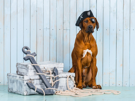 Rhodesian Ridgeback dog dressed like a pirate sitting with its treasures