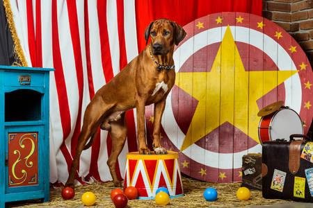 stage props: Rhodesian Ridgeback circus actor standing on a drum Stock Photo