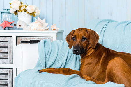 rhodesian: Rhodesian Ridgeback puppy lying on a sofa in a marine style interior