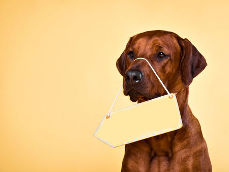A close-up portrait of the Rhodesian Ridgeback with a blank yellow arrow plate hanging on its nose. A signboard can be used to put some text in Standard-Bild