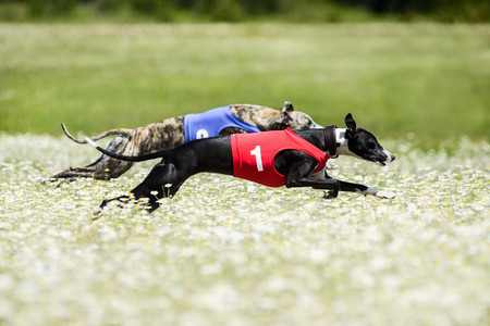 Two Greyhounds lure coursing competition in a beautiful chamomile field. Rear flight phase, suspended period, swing phase of double-suspension rotary gallop