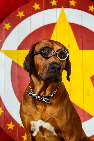 ridgeback: Rhodesian Ridgeback pretends being a circus actor wearing eyeglasses in front of a star target