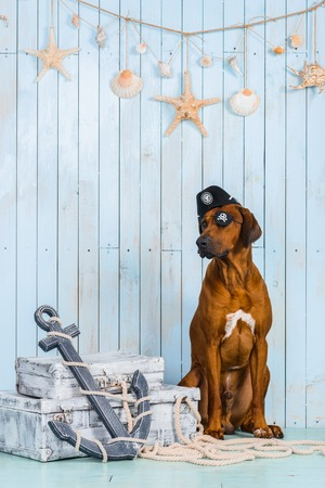 rhodesian: Rhodesian Ridgeback dog dressed like a pirate sitting with its treasures and an anchor