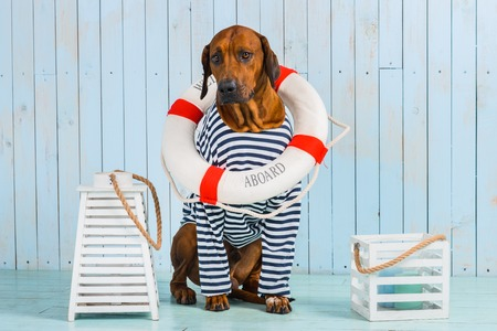 A shy Rhodesian Ridgeback dog-sailor with a lifebuoy around its neck 免版税图像 - 58084629