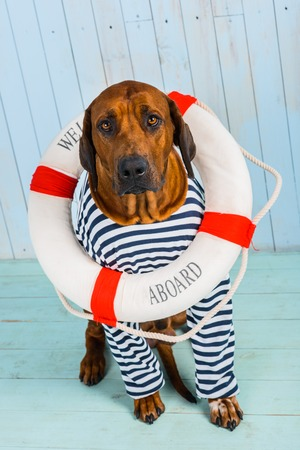 rhodesian: A shy Rhodesian Ridgeback dog-sailor with a lifebuoy around its neck begging for help