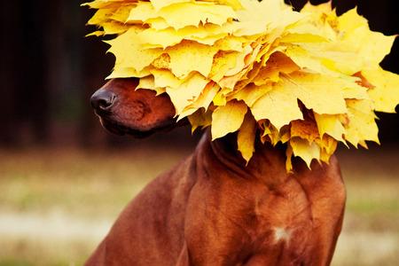 Rhodesian Ridgeback dog in profile dressed in wreath of golden autumn leaves Stock Photo