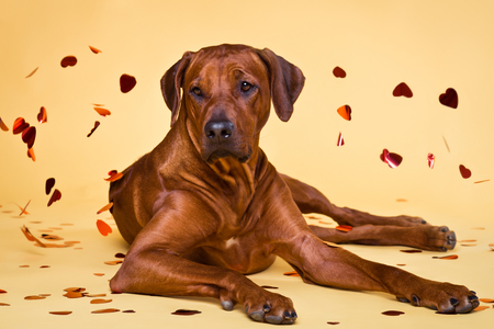 Rhodesian Ridgeback dog strewed with paper hearts lying on a yellow background
