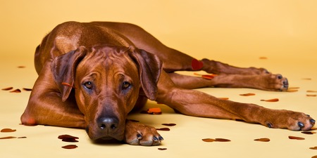 strewed: Rhodesian Ridgeback dog strewed with paper hearts lying on a yellow background