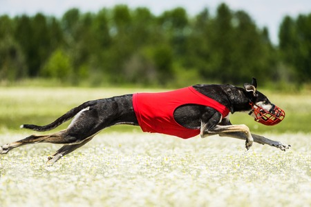 locomotion: Sighthounds lure coursing competition at chamomile field Stock Photo