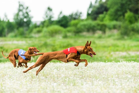 hounds: Two Pharaoh Hounds lure coursing competition at chamomile field
