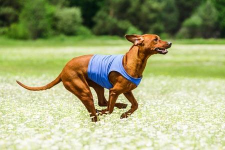 ridgeback: Rhodesian Ridgeback lure coursing competition at chamomile field