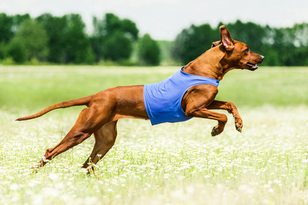 Rhodesian Ridgeback lure coursing competition at chamomile field