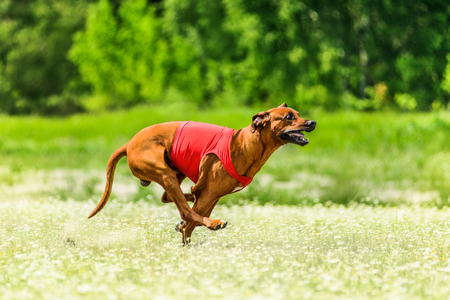 locomotion: Rhodesian Ridgeback lure coursing competition at chamomile field