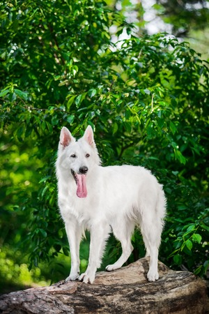 berger: Beautiful Berger Blanc Suisse standing on tree at the green forest Stock Photo