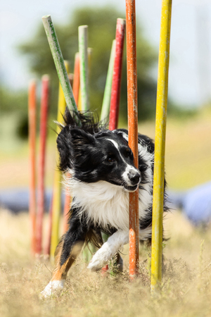 slalom: Border Collie demonstrates fast weave poles at agility competition, front image Stock Photo