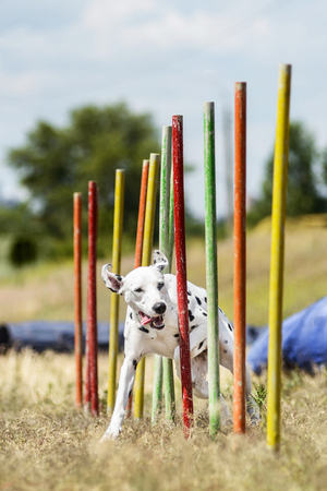 agility: Dalmation demonstrates  weave poles at agility competition, front image