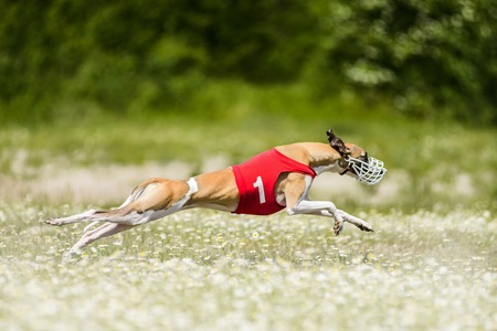 Sighthounds lure coursing competition at chamomile field Stock Photo