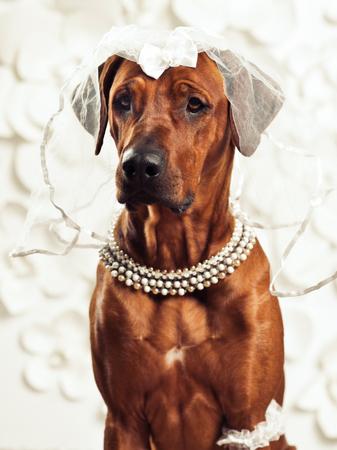 rhodesian: Rhodesian Ridgeback dog dressed like a lady in front of a vanity