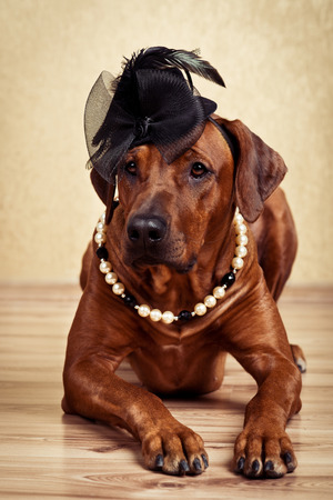 rhodesian: Rhodesian Ridgeback lady dressed in black hat and pearl necklace lying on the floor on a golden background