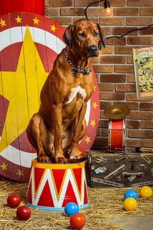 stage props: Rhodesian Ridgeback circus actor sitting on a drum in front of target Stock Photo