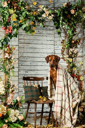 rhodesian: Rhodesian Ridgeback with an autumn leaf in its mouth sitting on a chair covered with a plaid in autumn decorations