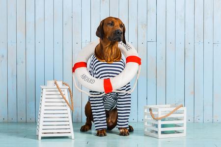 A shy Rhodesian Ridgeback dog-sailor with a lifebuoy around its neck 免版税图像
