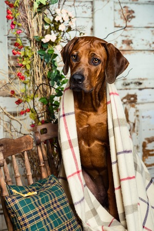 rhodesian: Rhodesian Ridgeback sitting on a chair covered with a plaid in autumn decorations Stock Photo
