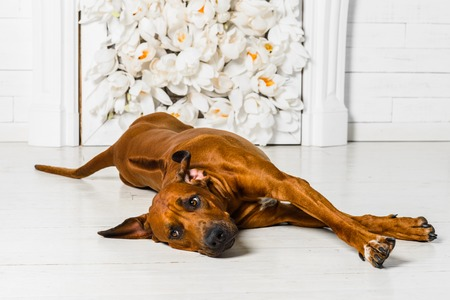 rhodesian: Cute relaxed Rhodesian Ridgeback dog stretching in front of a stylized flower fireplace watching its master