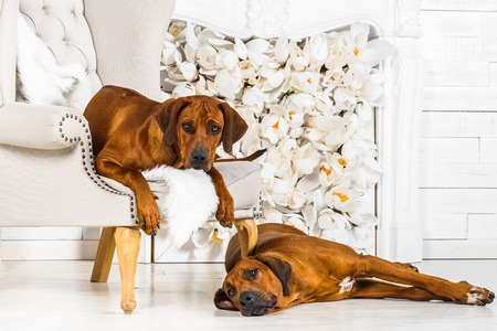 Two Rhodesian Ridgebacks have a rest in front of stylized fireplace